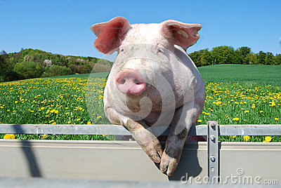 pig-looking-over-fence-spring-meadow-30110090